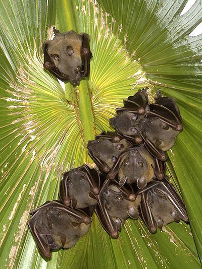 common-fruit-bats_4873